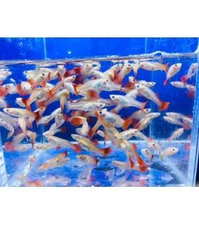 Miljoonakala Red, naaras