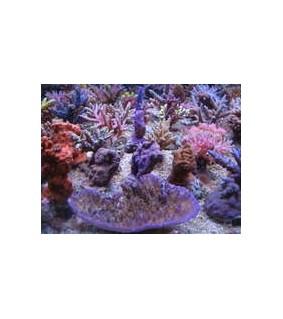 Korallen Zucht Coral Snow 250ml