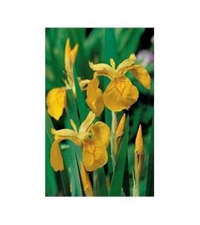 Iris pseudacorus Keltakurjenmiekka