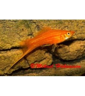 Miekkapyrstö punainen 4-5 cm - Xiphophorus helleri