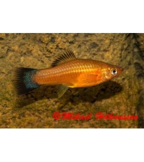 Miekkapyrstö punapronssi wagtail 4-5 cm - Xiphophorus helleri