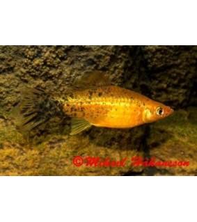 Miekkapyrstö punapronssi berliner 4-5 cm - Xiphophorus helleri