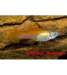 Miekkapyrsö neon 4-5 cm - Xiphophorus helleri
