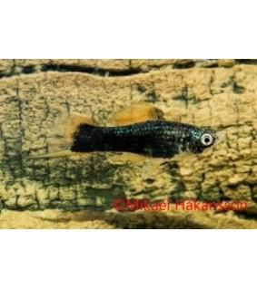Miekkapyrstö musta 4-5 cm - Xiphophorus helleri