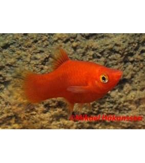 Platy punainen 3,5-5 cm - Xiphophorus maculatus
