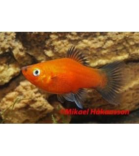 Platy punainen wagtail 3,5-5 cm - Xiphophorus maculatus