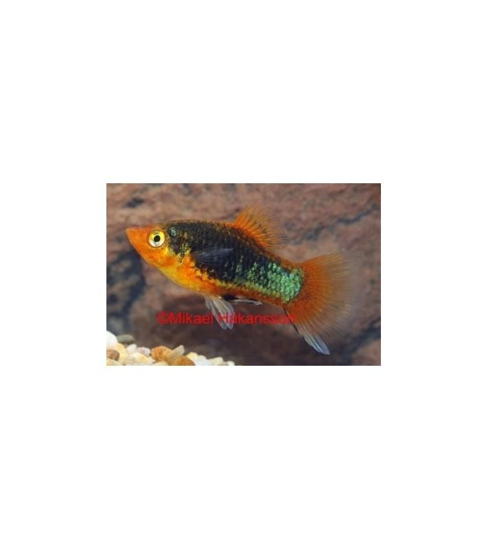 Platy musta 3,5-5 cm - Xiphophorus maculatus