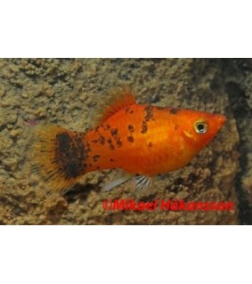 Platy berliner 3,5-5 cm - Xiphophorus maculatus