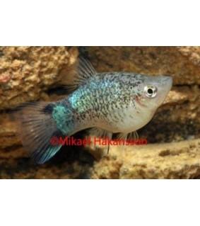 Platy sininen variegated - Xiphophorus maculatus