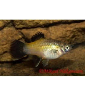 Platy keltainen wagtail - Xiphophorus maculatus