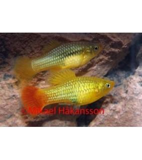 Platy indian - Xiphophorus variatus