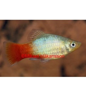 Platy punasinen - Xiphophorus maculatus