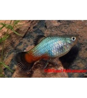 Platy punasinen wagtail - Xiphophorus maculatus