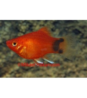 Platy coral punainen mickey mouse - Xiphophorus maculatus