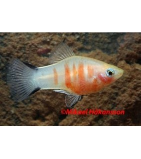 Platy coral keltainen seepra - Xiphophorus maculatus
