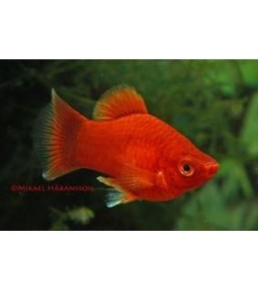Platy coral punainen - Xiphophorus maculatus