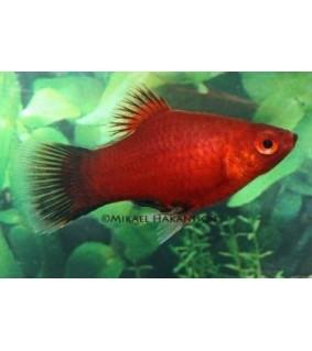 Platy coral punainen wagtail - Xiphophorus maculatus