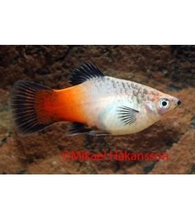 Platy kolmevärinen - Xiphophorus maculatus