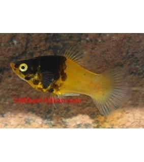 "Platy ""kimalainen"" - Xiphophorus maculatus"