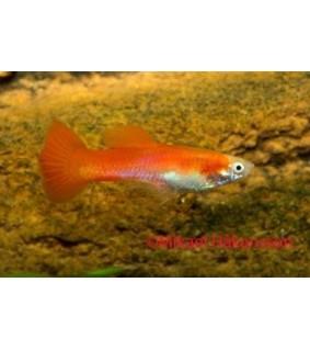 Miljoonakala punainen neon - Poecilia reticulata