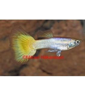 Miljoonakala keltainen neon - Poecilia reticulata