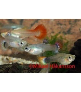 Miljoonakala naaras mix värit - Poecilia reticulata