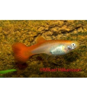Miljoonakala naaras punapyrstö - Poecilia reticulata