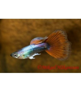 Miljoonakala punasininen tumma neon - Poecilia reticulata