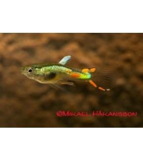 Miljoonakala endler limevihreä naaras/koiras - Poecilia wingei