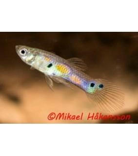 Miljoonakala nigerialainen naaras/koiras - Poecilia reticulata