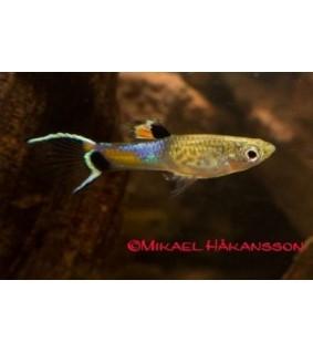 Miljoonakala endler bluesnake campoma naaras/koiras - Poecilia wingei