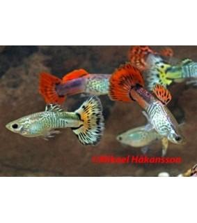 Miljoonakala kingcobra mix - Poecilia reticulata
