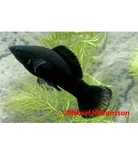 Leveäevämolli musta - Poecilia latipinna