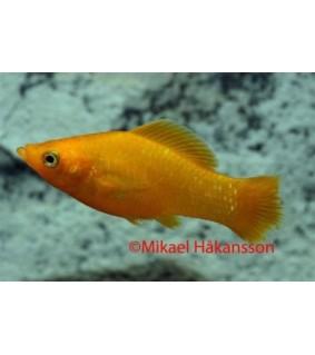 Leveäevämolli oranssi - Poecilia latipinna