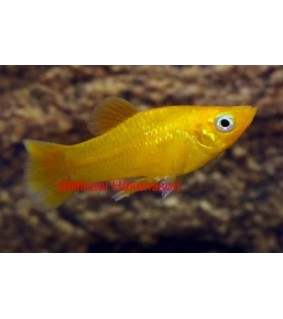 Molli keltainen - Poecilia sphenops