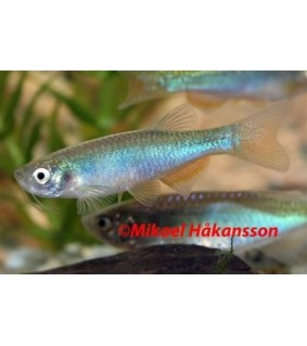 Hohtoseeprakala - Danio albolineatus