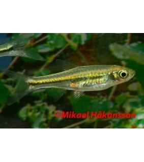 Smaragdirasbora - Microdevario kubotai