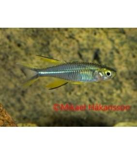 Sädekala - Marosatherina ladigesi