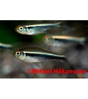 Mustaneontetra - Hyphessobrycon herbertaxelrodi