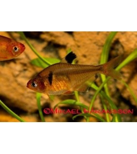 Pikkutetra - Hyphessobrycon eques