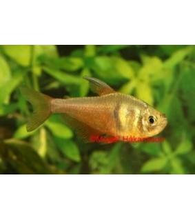 Punatetra - Hyphessobrycon flammeus
