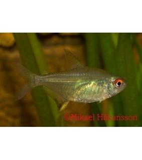 Sitruunatetra - Hyphessobrycon pulchripinnis