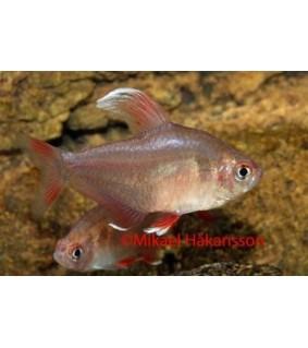 Ruusutetra valkoevä - Hyphessobrycon cf rosaceus