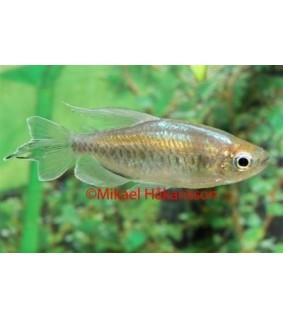 Kongontetra 4-5 cm - Phenacogrammus interruptus