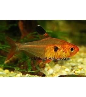 Puna-aavetetra - Hyphessobrycon sweglesi