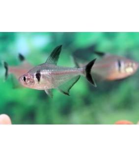 Musta-aavetetra - Hyphessobrycon megalopterus