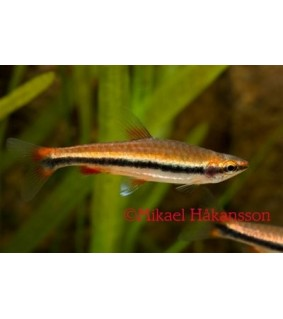 Suppusuu punainen - Nannostomus beckfordi