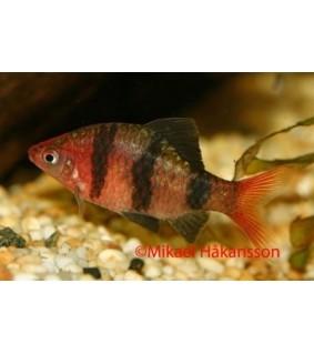 Punapääbarbi - Pethia nigrofasciatuus
