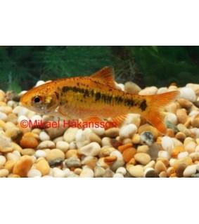 Messinkibarbi - Puntius semifasciolatus