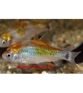 Messinkibarbi tricolor - Puntius semifasciolatus
